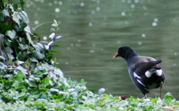 Moorhen at the Moulin de Chère
